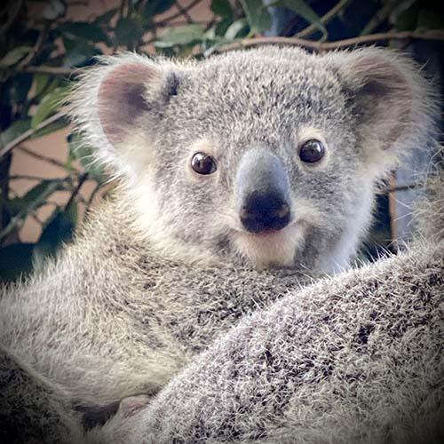 Koala Maleny